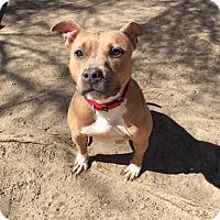 Adopt A Pet :: Coco - Mt Vernon, NY