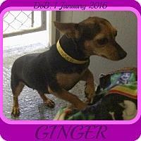 Adopt A Pet :: GINGER - Manchester, NH