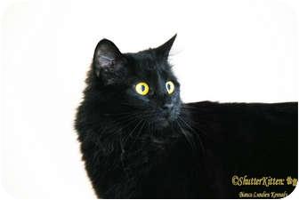Domestic Longhair Cat for adoption in Encinitas, California - Isla