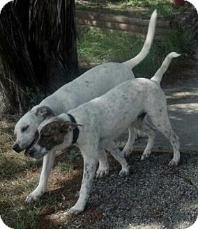 Australian Cattle Dog/American Bulldog Mix Dog for adoption in Copperas Cove, Texas - Jacob and/or Neelix