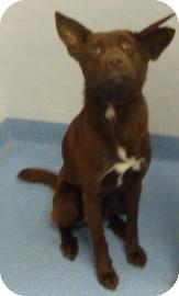 German Shepherd Dog/Labrador Retriever Mix Dog for adoption in Gainesville, Florida - Rex