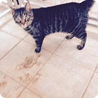 Domestic Shorthair Cat for adoption in East Smithfield, Pennsylvania - McGraw