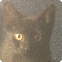 Adopt A Pet :: Velvet Sky - Trevose, PA