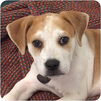 Shepherd (Unknown Type) Mix Puppy for adoption in Ithaca, New York - Mason