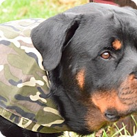 Rottweiler Dog for adoption in Mason, Michigan - Bleu