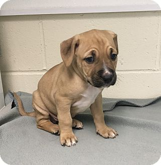 Hound (Unknown Type) Mix Puppy for adoption in Burgaw, North Carolina - Tori