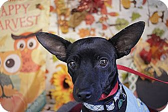 Chihuahua/Rat Terrier Mix Dog for adoption in Allentown, Pennsylvania - Dude