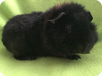 Guinea Pig for adoption in Steger, Illinois - Haribo