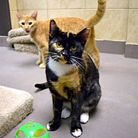 Calico Cat for adoption in Virginia Beach, Virginia - Rogue