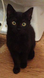 Domestic Shorthair Cat for adoption in Houston, Texas - Marissa