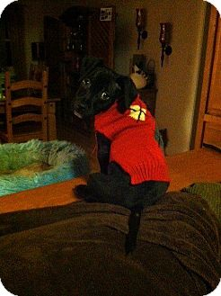 Pit Bull Terrier/Pekingese Mix Puppy for adoption in bridgeport, Connecticut - Rudolph