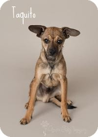 Chihuahua Puppy for adoption in Scottsdale, Arizona - Taquito