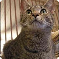 Domestic Shorthair Cat for adoption in Stanhope, New Jersey - Tabby