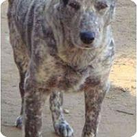 Adopt A Pet :: Cattle Dog - Fowler, CA