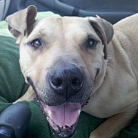 Adopt A Pet :: Honey Bear - Seahurst, WA