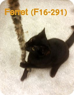 American Shorthair Cat for adoption in Tiffin, Ohio - Ferret
