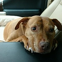 Pit Bull Terrier Mix Dog for adoption in Ringoes, New Jersey - Casey