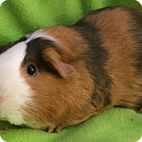 Adopt A Pet :: Daisy (s) - Steger, IL