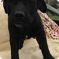 Adopt A Pet :: Cadman - Allentown, PA