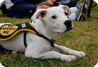 Boxer/Dalmatian Mix Puppy for adoption in Baton Rouge, Louisiana - Avery