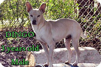 Jindo/Shepherd (Unknown Type) Mix Dog for adoption in Boaz, Alabama - Dingo
