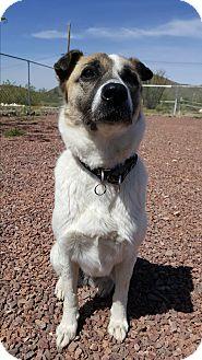 Australian Shepherd Mix Dog for adoption in New River, Arizona - Nala