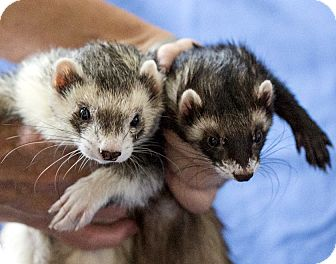 Ferret for adoption in Brandy Station, Virginia - AJAX & ALINA