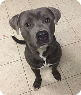 Terrier (Unknown Type, Medium)/American Pit Bull Terrier Mix Dog for adoption in Fulton, Missouri - Jelly Roll- Ohio