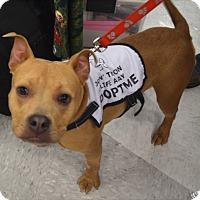 Adopt A Pet :: Honey - Ogden, UT