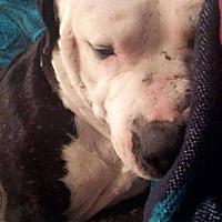 Adopt A Pet :: Chief - Broken Arrow, OK
