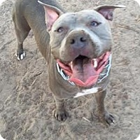 American Pit Bull Terrier Mix Dog for adoption in Brooklyn Center, Minnesota - Zeus