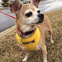Adopt A Pet :: Cricket - Durham, NC