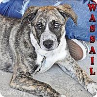Adopt A Pet :: Wassail - Carrollton, TX