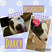 Adopt A Pet :: Darcy - Unionville, VA