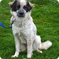 Adopt A Pet :: Shiloh - Akron, OH