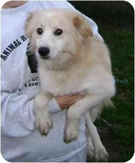 Sheltie, Shetland Sheepdog/Cocker Spaniel Mix Dog for adoption in Wauseon, Ohio - Mellow Yellow