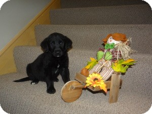 Labrador Retriever Mix Puppy for adoption in Marlton, New Jersey - Fritz and Hemingway