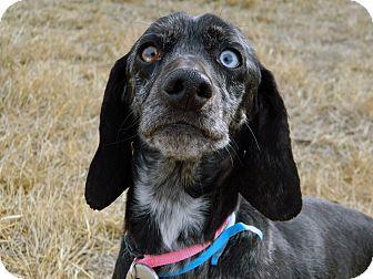 Dachshund/Cocker Spaniel Mix Dog for adoption in Cheyenne, Wyoming - Knickei