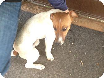 Jack Russell Terrier Dog for adoption in Scottsdale, Arizona - BANDIT