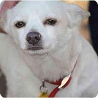 Adopt A Pet :: SIMON PETER - Bryan, TX