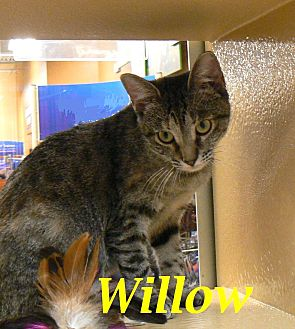 Domestic Shorthair Cat for adoption in League City, Texas - Willow - ADOPTED!