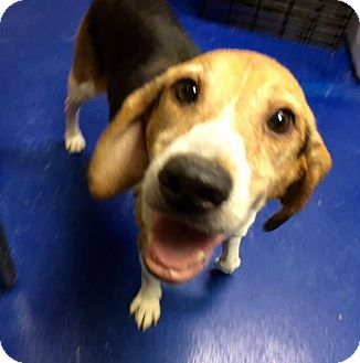 Beagle Mix Dog for adoption in New Kent, Virginia - Delilah