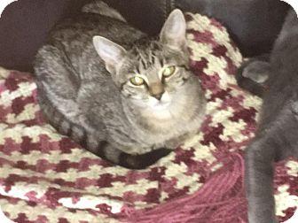 Domestic Shorthair Kitten for adoption in Middletown, Ohio - Stripey