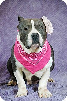 Pit Bull Terrier Dog for adoption in West Springfield, Massachusetts - Mia