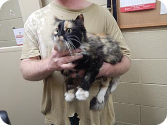 Domestic Longhair Cat for adoption in Pikeville, Kentucky - Callie