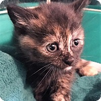 Adopt A Pet :: Ivy - Dumfries, VA