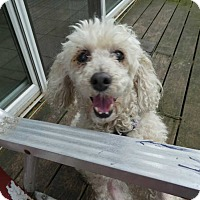 Adopt A Pet :: Curly - Wyanet, IL
