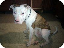 American Pit Bull Terrier Mix Dog for adoption in Montreal, Quebec - Sparky