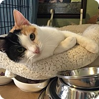 Adopt A Pet :: Gypsy - Colmar, PA
