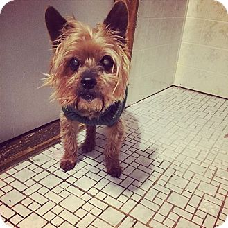 Yorkie, Yorkshire Terrier Mix Dog for adoption in Newport, Michigan - Chewy